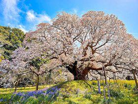 穴場で快適なお花見を!千葉県のおすすめ一本桜5選