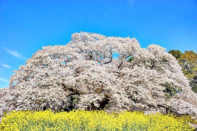 吉高の大桜(印西市)は千葉県を代表する一本桜!