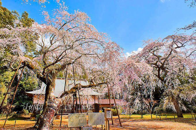 超穴場の一本桜!福星寺のしだれ桜(四街道市)