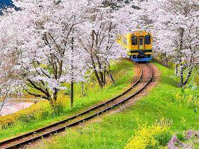 菜の花色の列車から桜の花見!千葉・いすみ鉄道で春の房総満喫