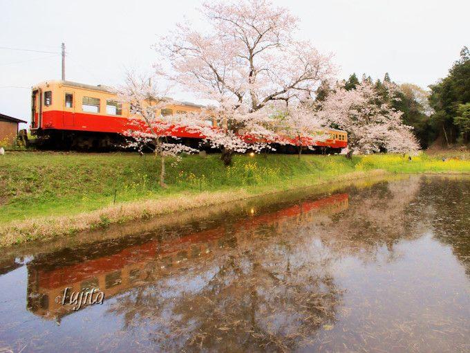いすみ鉄道の後は、小湊鐵道の「桜と菜の花」へ!