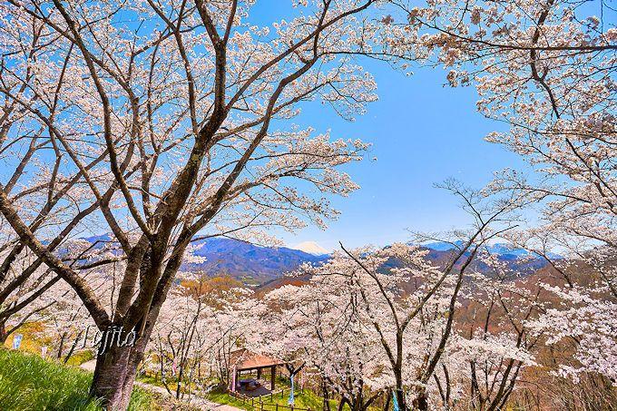 流石は日本さくら名所100選!大法師公園の桜は、まさに絶景