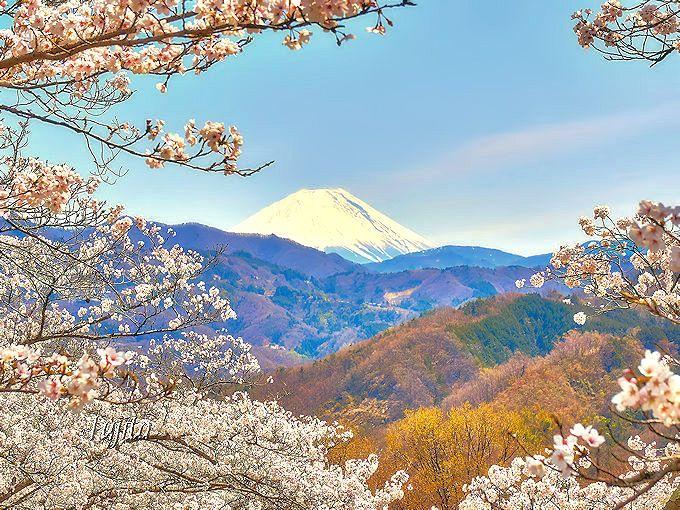 桜と富士山のコラボが絶景!山梨「大法師公園」は八ヶ岳も一望の花見名所