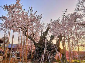 山高神代桜は日本最古!山梨・樹齢2000年の一本桜が花見名所