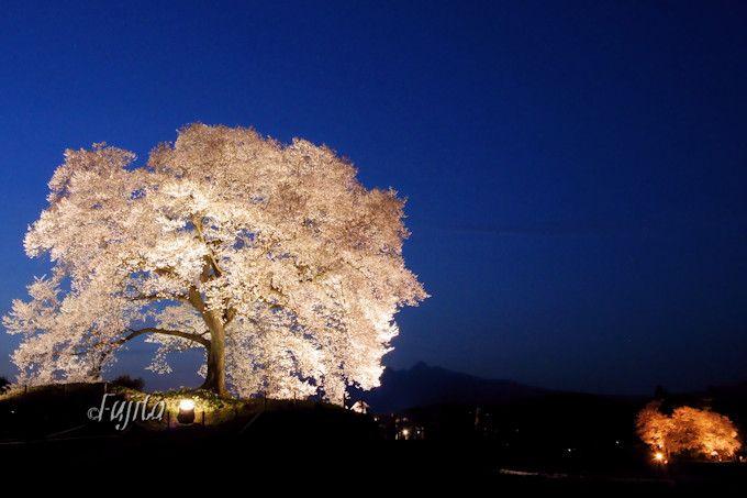 わに塚の桜のライトアップも必見!