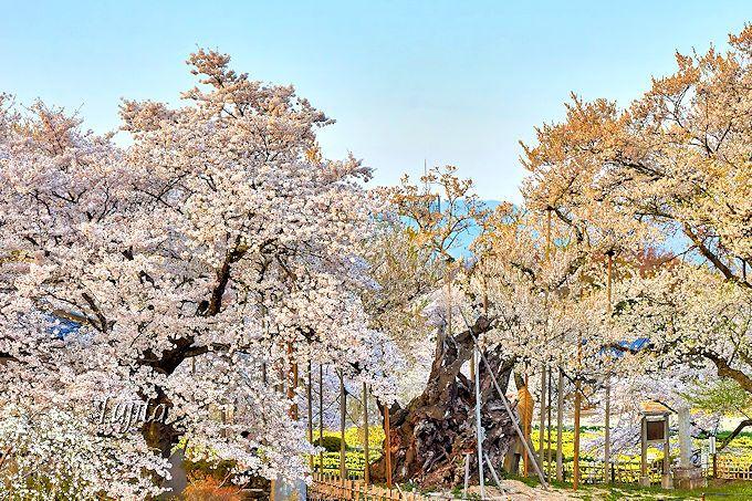 神代桜満開後の数日間が一番の見頃!