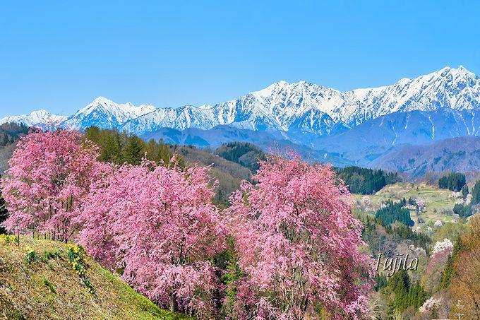 桜山は駐車場から絶景!小川村「番所の桜」と「立屋の桜」
