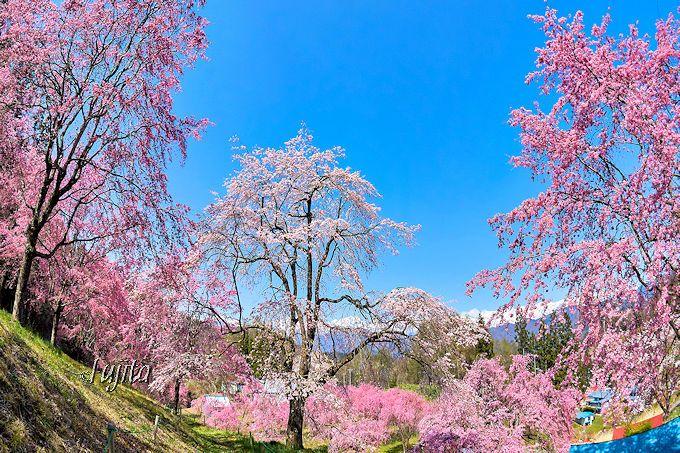 桜のトンネルが絶景!桜山の下部エリア