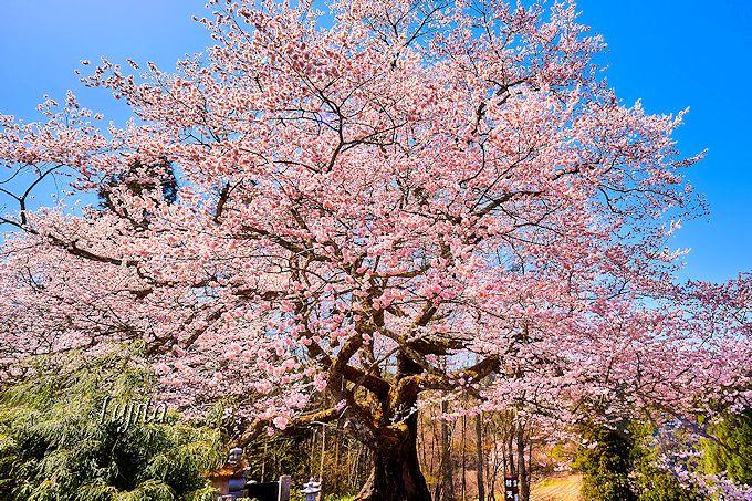 江戸彼岸桜の一本桜!立屋の桜