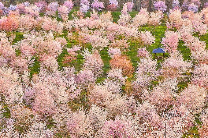 裏磐梯・桜峠は3000本の山桜が絶景!GWが見頃の穴場花見名所