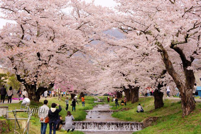 観音寺川の桜並木もおすすめ!