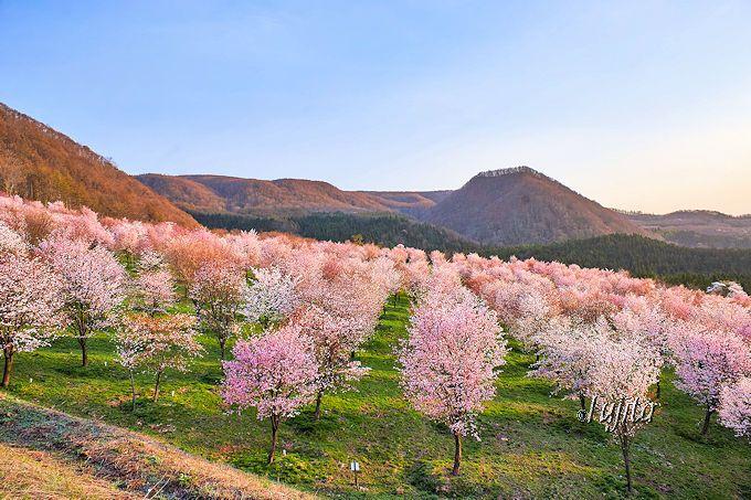 裏磐梯「桜峠さくらまつり」は駐車場から絶景!