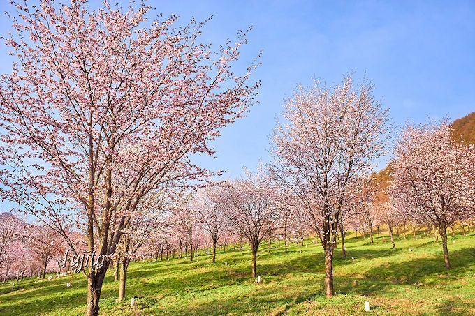 ヤマザクラが峠を桜色に染める!