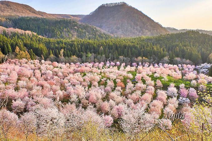 実は一番奥に、さらに桜の絶景が!