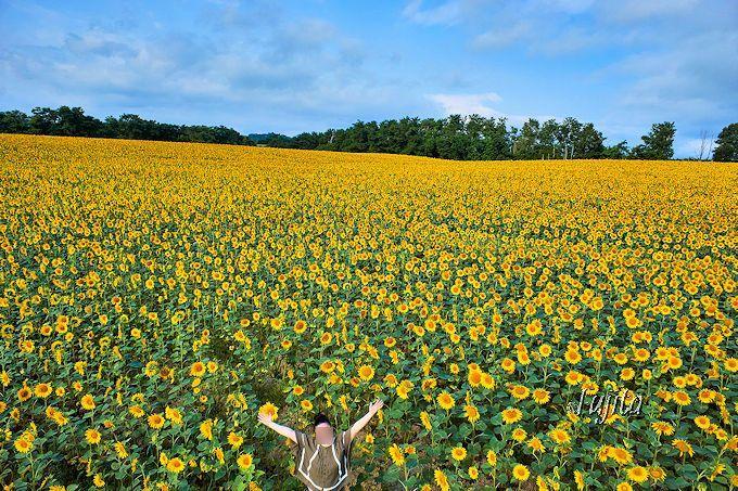北海道・北竜町「ひまわりまつり」が凄い!日本一150万本のひまわりの里