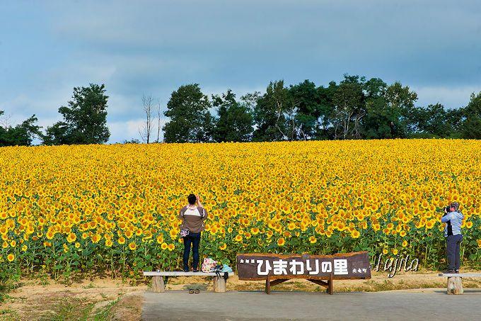 ひまわり畑は極力高い位置から撮影しよう!