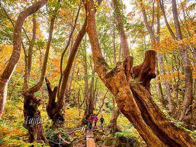 鳥海山にジブリの森!?秋田「あがりこ大王」の紅葉が神秘的