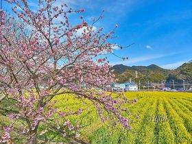 河津桜と菜の花がコラボ!南伊豆「日野(ひんの)菜の花畑」