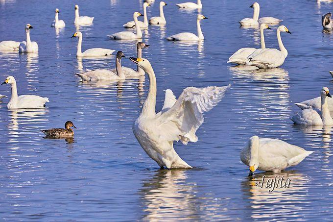 印西・本埜「白鳥の郷」で一番のおすすめは「羽ばたき」