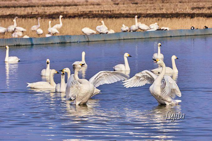 印西・本埜「白鳥の郷」おすすめポイント5選!千葉の白鳥飛来地