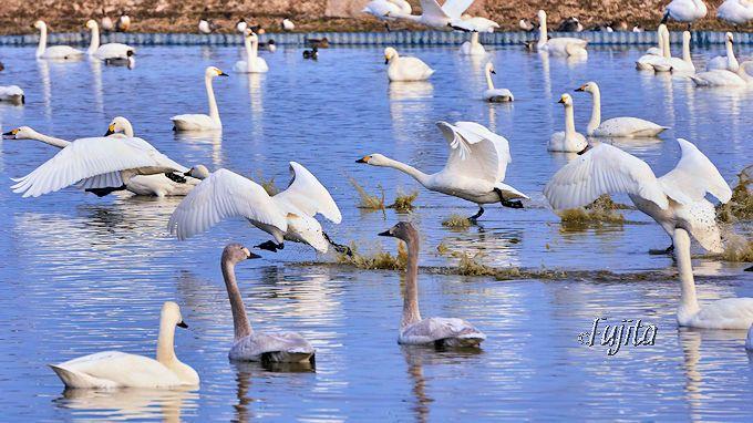 白鳥らしさ満点の愛嬌ある離着水