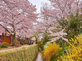 桜が満開!「哲学の道」は京都を代表する花見名所