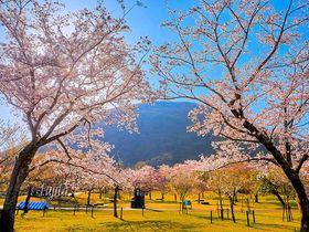 日本桜名所100選!伊豆高原「さくらの里」はライトアップも必見