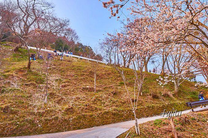 吉野山の桜は早朝の上千本から!