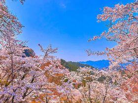 吉野山の桜は一目千本が必見!世界遺産のおすすめ花見コース