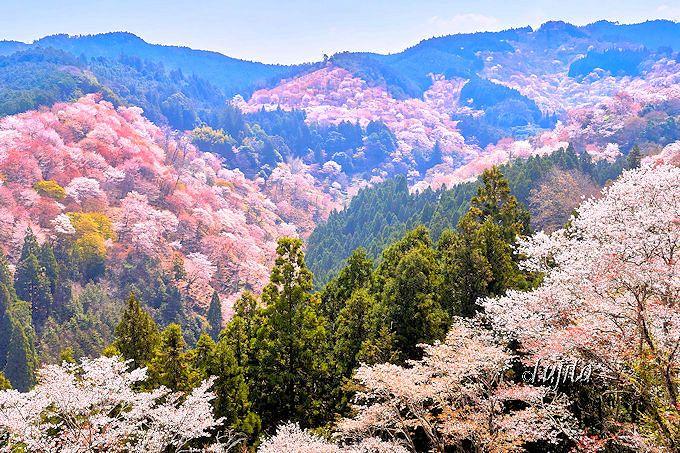 吉野山の桜は中千本の「一目千本」が必見!