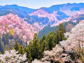 奈良のおすすめ桜スポット10選 一目千本から一本桜まで