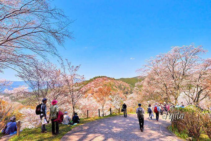 下千本の桜は春もみじとコラボ!