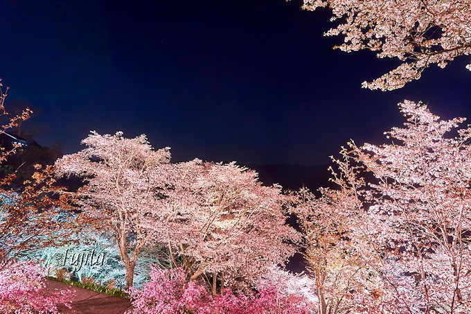 下千本の夜桜ライトアップは穴場!