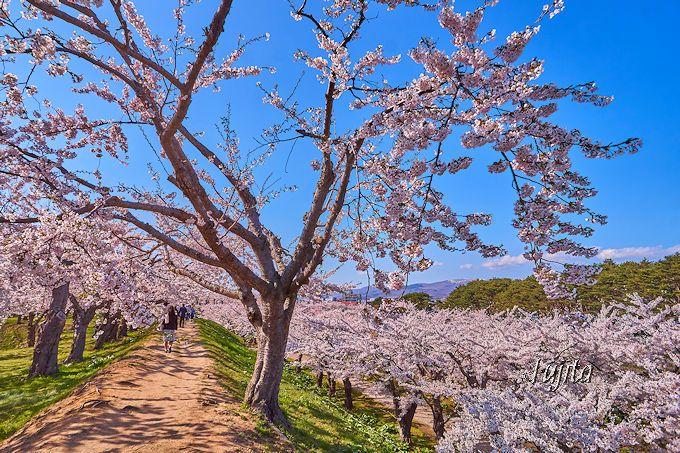 五稜郭公園の桜は幾重にもコラボします!