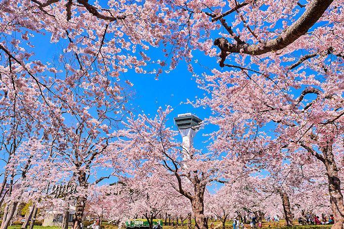 桜に囲まれた五稜郭タワーが絶景!