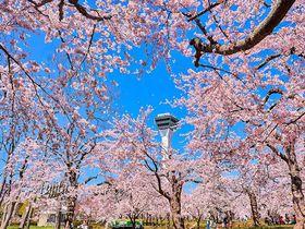 函館・五稜郭公園の桜が美しい!おすすめ花見ポイント4選