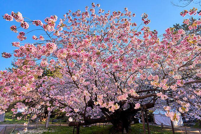 独自品種「南殿」の原木!松前・光善寺の血脈桜