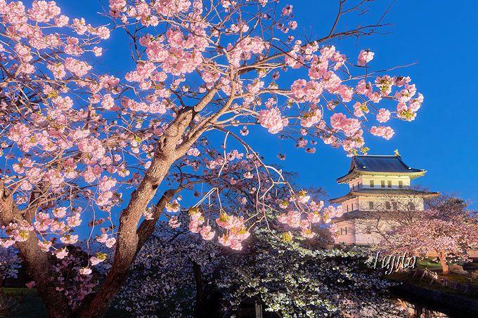 夜桜ライトアップが絶景!