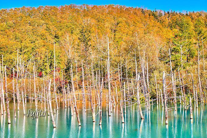 「青い池」の紅葉もほぼ同時!