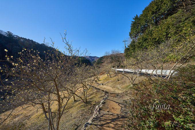 伊東・松川湖畔で蝋梅(ロウバイ)を鑑賞!