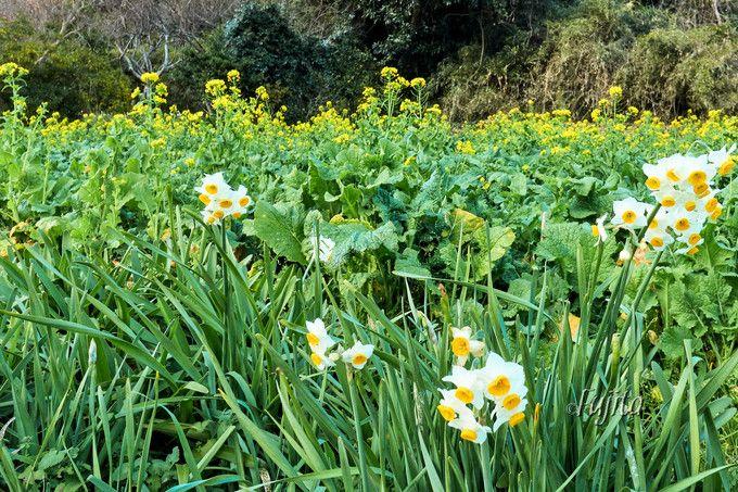 水仙が菜の花や「わらボッチ」とコラボ!