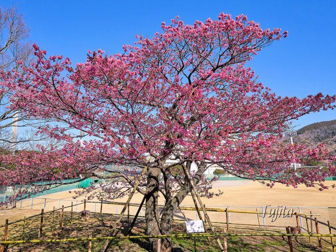 土肥桜の原木は必見!丸山スポーツ公園