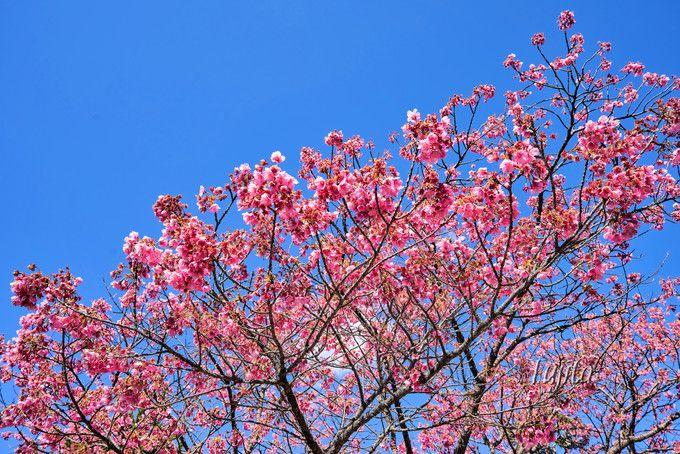 万福寺の土肥桜は満開が一番早い!