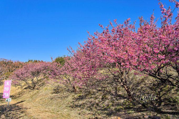土肥桜の桜並木!恋人岬は一番のおすすめ