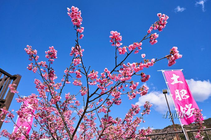土肥桜の名所5選!伊豆・土肥温泉の桜祭りは日本一早い