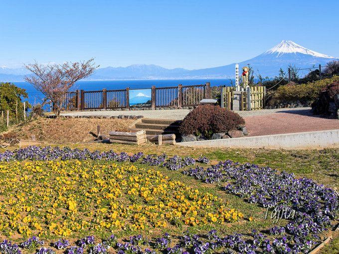恋人岬の土肥桜は富士山とコラボ!