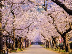 秋月の桜名所5選!福岡のお花見は秋月城跡「杉の馬場」がおすすめ