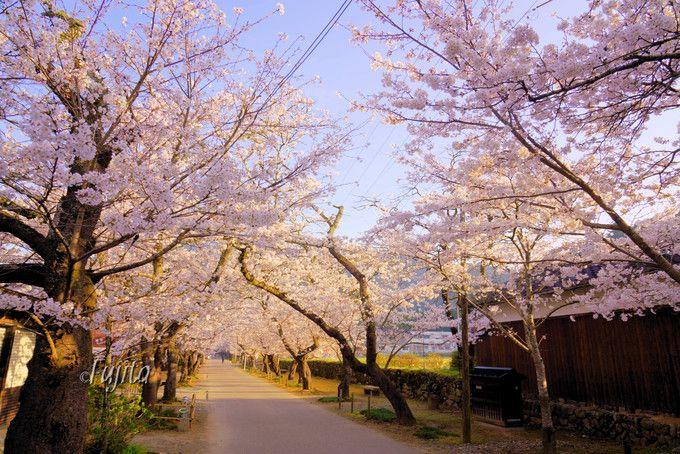秋月の桜は「杉の馬場」がおすすめ!