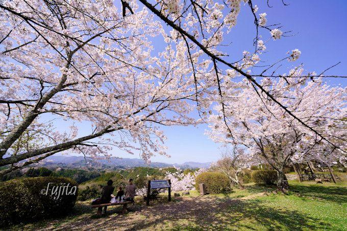 本丸周辺の桜が石垣とコラボ!