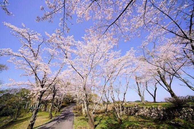 岡城跡の桜5選!豊後竹田城址は、大分のおすすめ花見名所